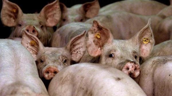 """Allarme in Cina, nuovo ceppo influenzale """"potenzialmente pandemico"""" scoperto nei maiali"""